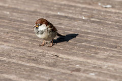 Sparrow on a wooden surface Stock Photography