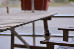 Sparrow on a wooden table Stock Images