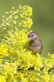 Sparrow among yellow flowers Stock Photography