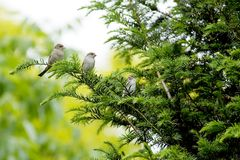 Sparrow with young. Adult female house sparrow and two young fledglings on taxus tree stock photography