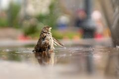 Sparrow. A young sparrow bathes in the water. stock photo