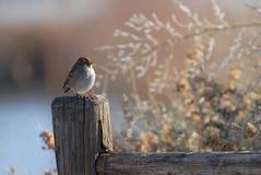 sparrow zimno Obraz Stock