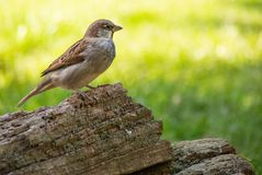 Sparrowen f?rgrena sig p? fotografering för bildbyråer