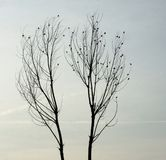 Sparrowes on a tree Royalty Free Stock Photos