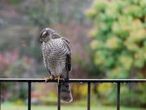Sparrowhawk在庭院里 库存照片