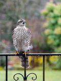 Sparrowhawk в саде стоковое фото