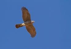 Sparrowhawk летая сверх Стоковое Изображение RF