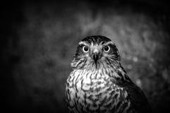 sparrowhawk 免版税库存图片