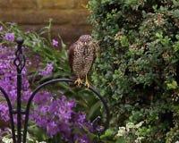 sparrowhawk Zdjęcie Stock