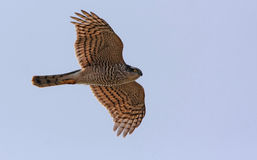 Sparrowhawk Stock Photos
