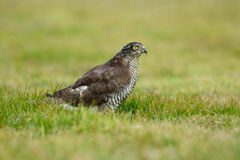 Sparrowhawk Stock Photography