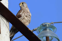 Sparrowhawk Imagem de Stock
