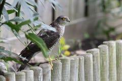Sparrowhawk. Arkivfoto