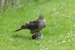 Sparrowhawk. Stock Images