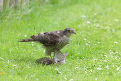 Sparrowhawk. Royalty Free Stock Photos