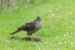 Sparrowhawk. Stock Photos