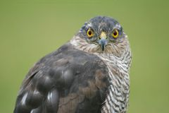 Free Sparrowhawk Royalty Free Stock Photo - 3522815
