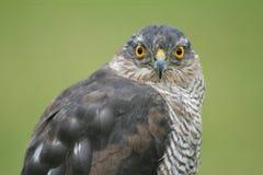 Sparrowhawk Foto de Stock Royalty Free