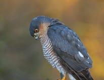 sparrowhawk Imagen de archivo
