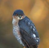 sparrowhawk Imágenes de archivo libres de regalías