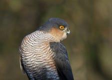 sparrowhawk Photographie stock