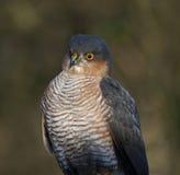 sparrowhawk Стоковое Изображение RF