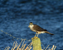 sparrowhawk Image stock