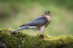sparrowhawk Arkivfoton