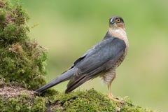 sparrowhawk Fotografering för Bildbyråer