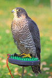 The sparrowhawk - Accipiter nisus Stock Photography