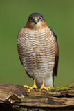 Sparrowhawk (Accipiter nisus). A Sparrowhawk (Accipiter nisus) standing on a dead branch of a tree. Photographed near Kirkcudbright in southwest Scotland stock image