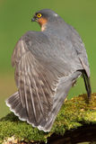 Sparrowhawk (Accipiter nisus). A Sparrowhawk (Accipiter nisus) dries its wings in the sunshine stock image