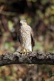 Sparrowhawk, Accipiter nisus Stockbilder
