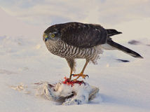 Sparrowhawk-Accipiter nisus 1 Lizenzfreie Stockbilder