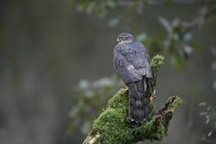 Sparrowhawk, Accipiter nisus Stockfotografie