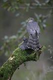 Sparrowhawk, Accipiter nisus Lizenzfreies Stockbild