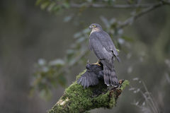 Sparrowhawk, Accipiter nisus Lizenzfreie Stockfotos