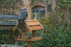 Sparrowhawk, Accipiter nisus Stockfotos