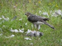 Sparrowhawk; Accipiter nisus Stockbild