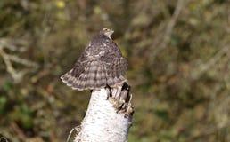 Sparrowhawk; Accipiter nisus Stockbilder