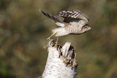 Sparrowhawk; Accipiter nisus Lizenzfreie Stockfotos