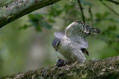 Sparrowhawk, Accipiter nisus Lizenzfreies Stockfoto