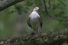 Sparrowhawk, Accipiter nisus Stockbild