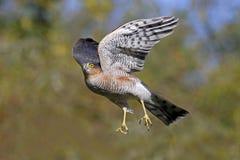 Sparrowhawk, Accipiter-nisus Royalty-vrije Stock Fotografie