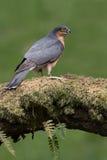 Sparrowhawk-Accipiter nisus Stockbilder