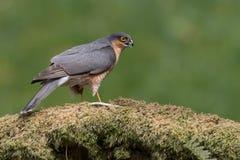 Sparrowhawk-Accipiter nisus Lizenzfreies Stockfoto