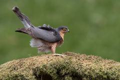 Sparrowhawk-Accipiter nisus Stockfotos