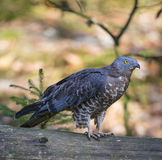Sparrowhawk Stock Images