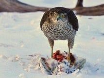 Sparrowhawk-Accipiter nisus, das eine Taube genommen hat lizenzfreie stockfotos