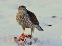 Sparrowhawk-Accipiter nisus, das eine Taube genommen hat lizenzfreie stockfotografie